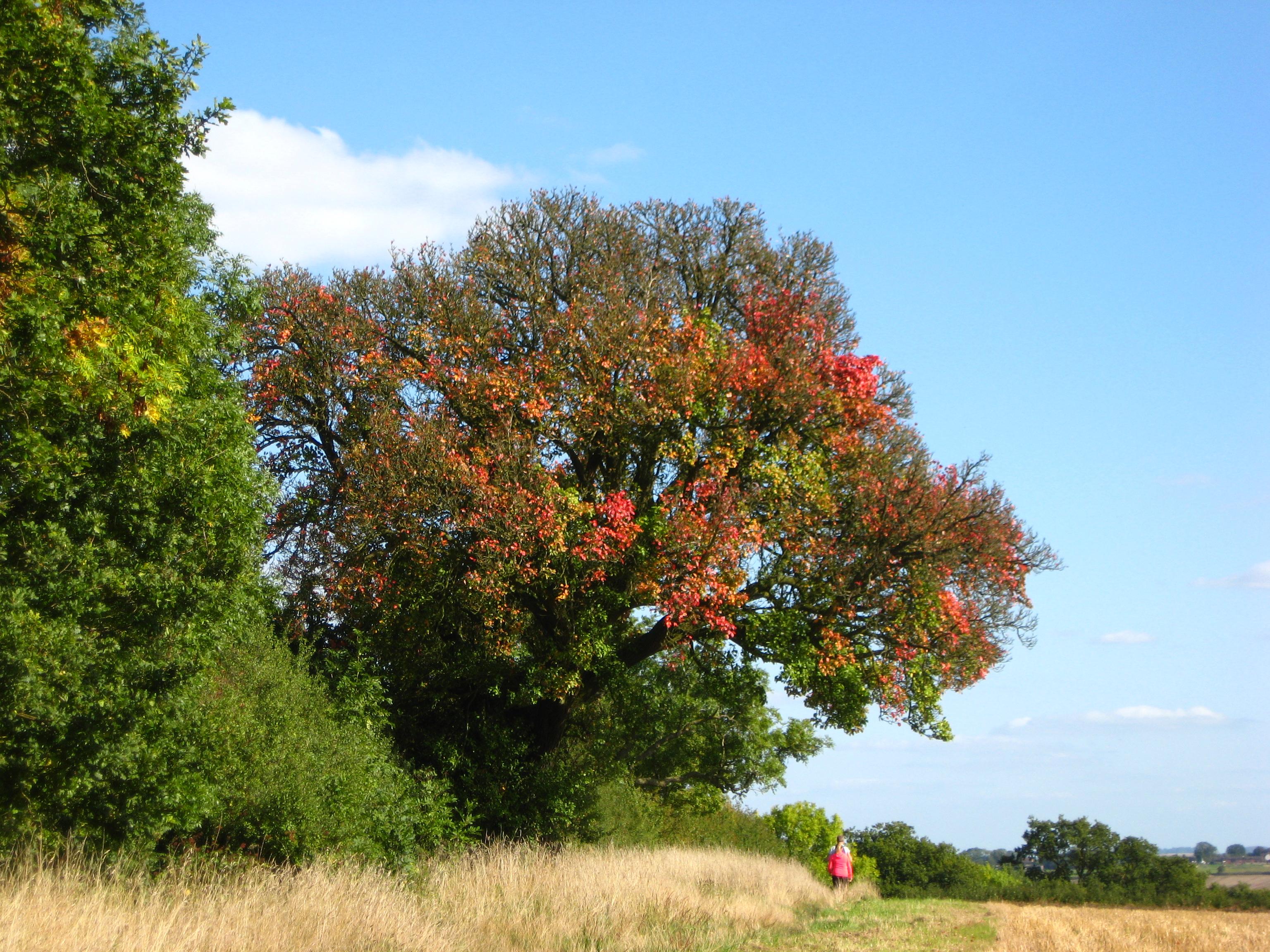 Cubbington Pear Tree