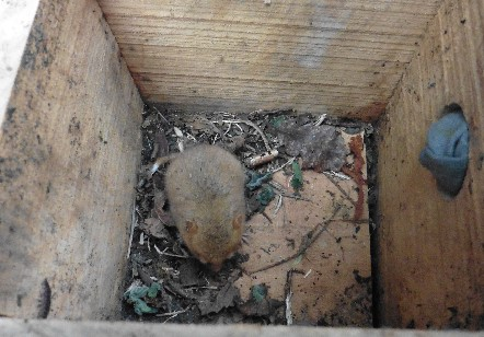 Just emerged from hibernation – a small dormouse needs food!