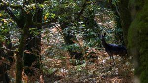 Deer at Fingle Woods