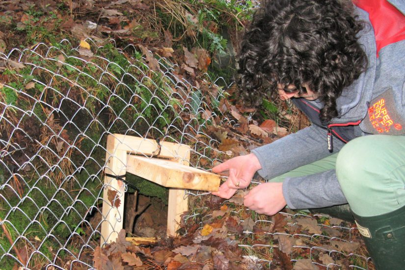 Checking the gate on the badger sett