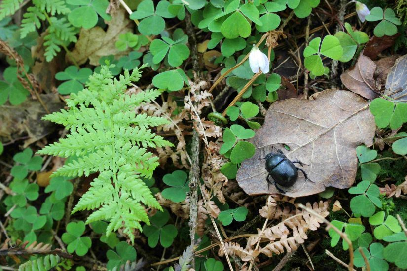 Fingle dor beetle