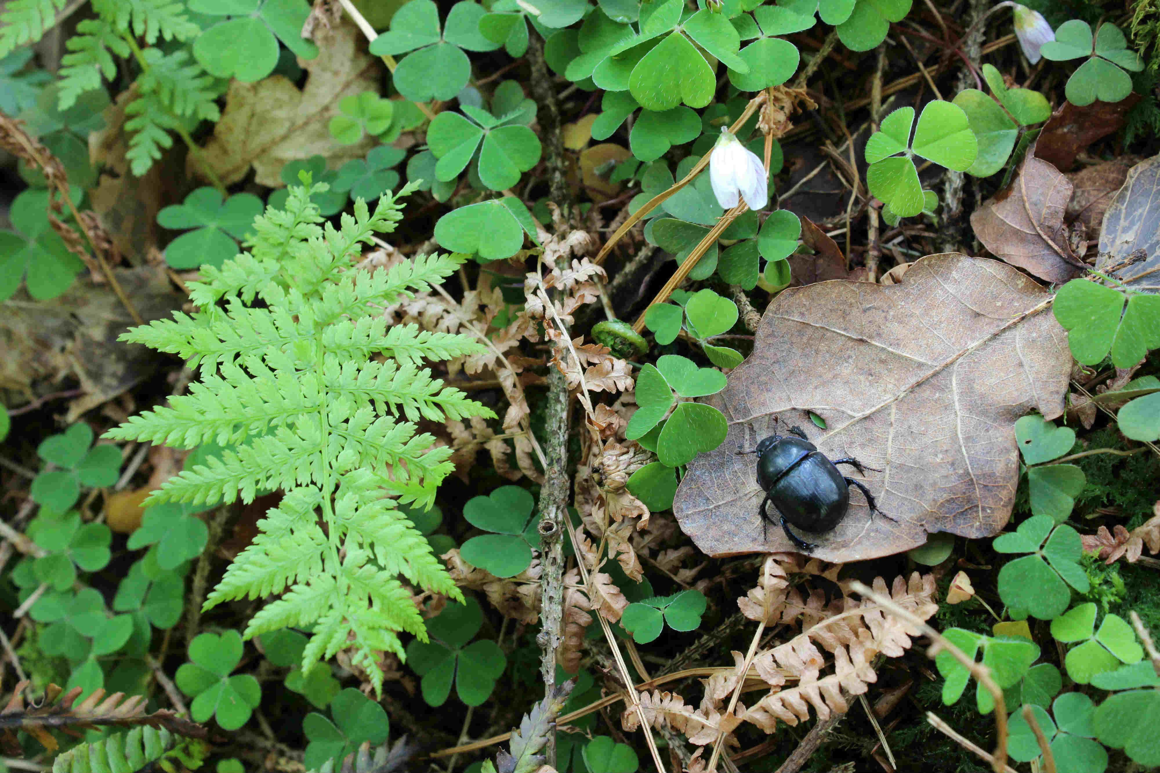 Fingle dor beetle