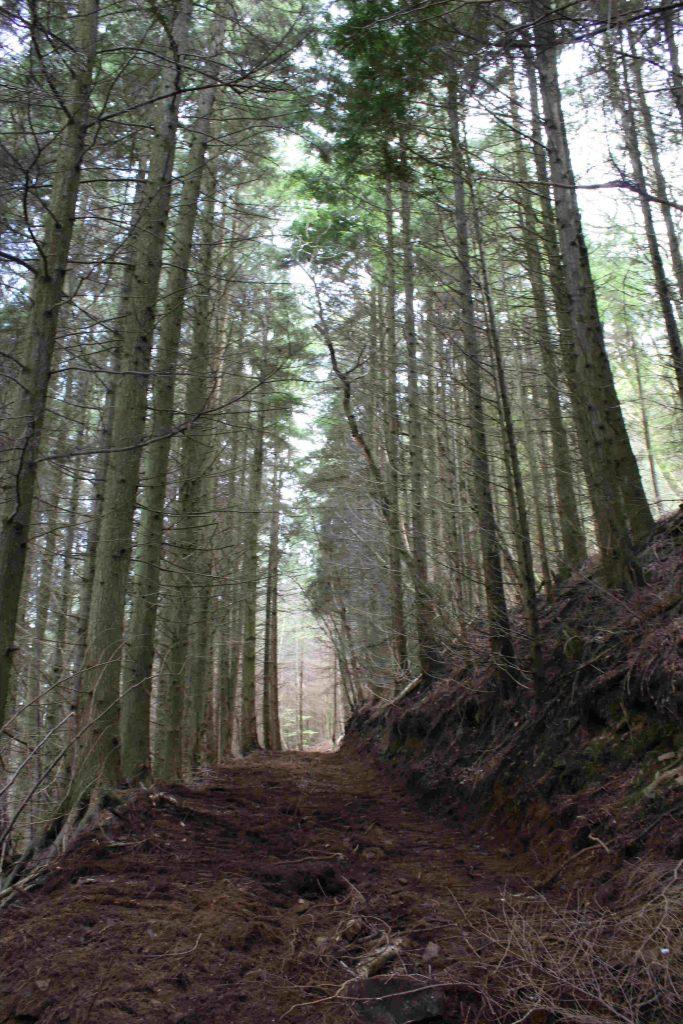 Fingle Woods conifers