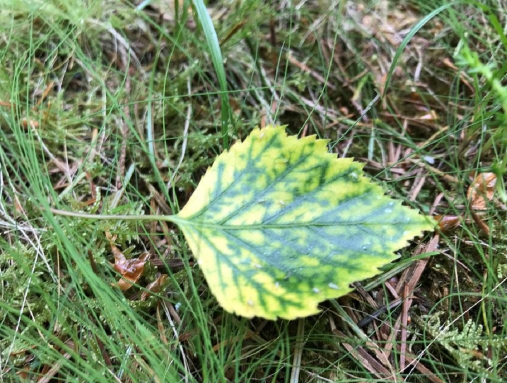 Birch leaf in Fingle Woods
